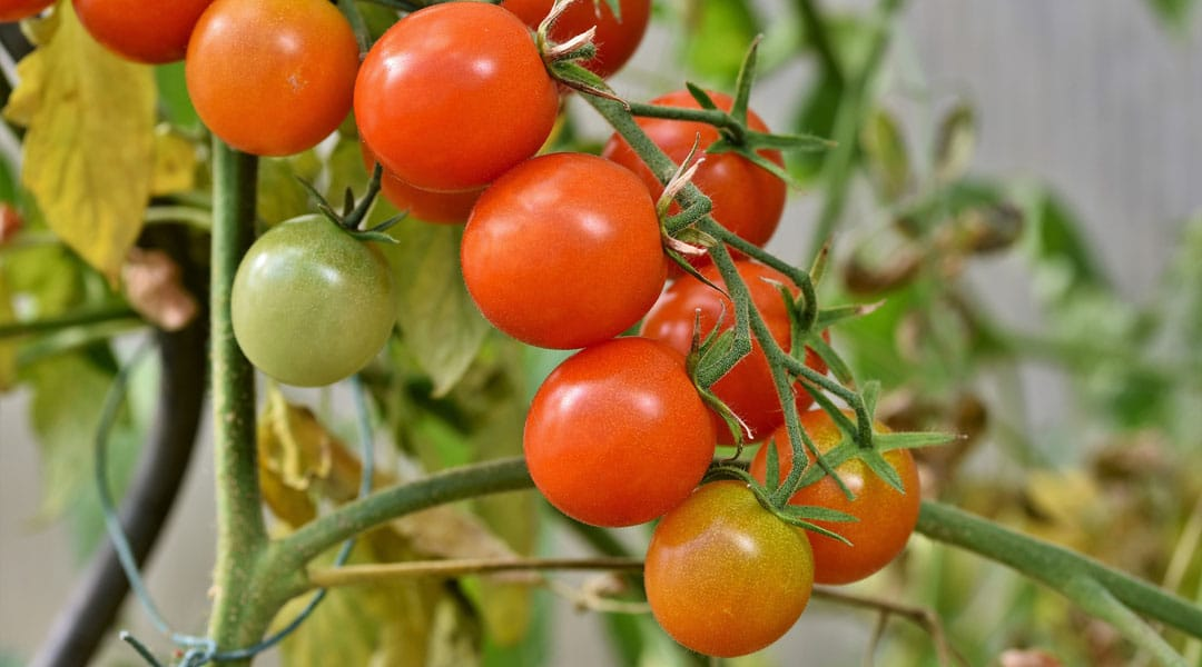 Cherry tomatoes growing in the garden
