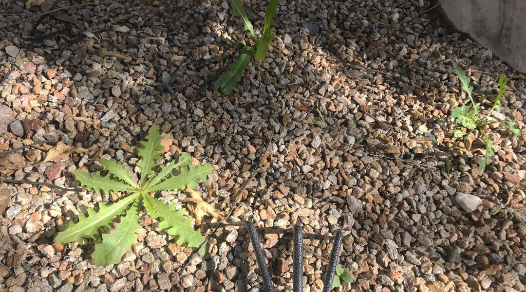 Weeds in a gravel Tucson yard